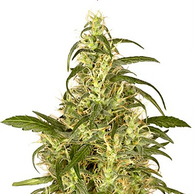 Dutch Passion Skunk #II Feminized
