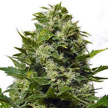 Big Buddha Bubble Cheese Feminized
