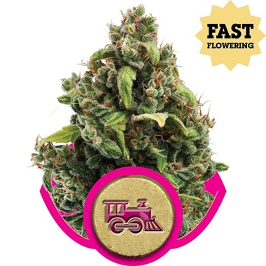 Candy Kush Fast Version