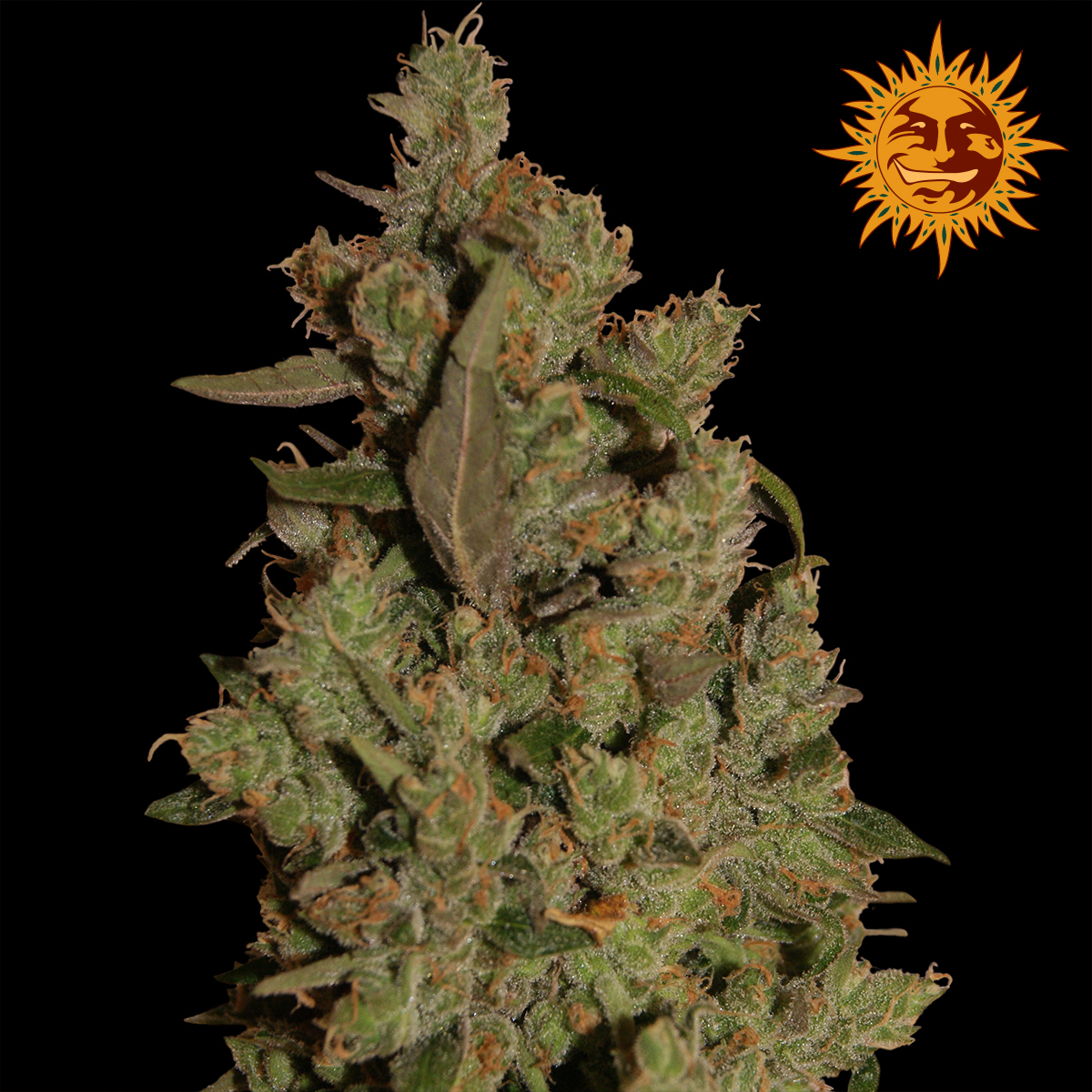 Colorado Kush: Barney's Farm CBD Critical Cure