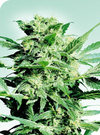 Shiva Skunk Regular Seeds