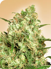 Maple Leaf Indica Regular Seeds