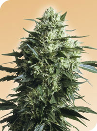 Mother's Finest Regular Seeds