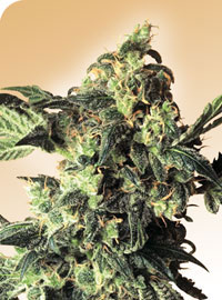Northern Lights Regular Seeds