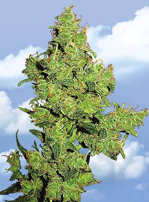 Flying Dragon Feminised Seeds