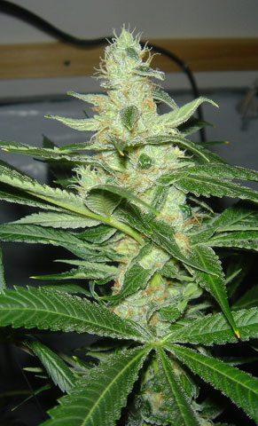 CheeseWreck Feminised Seeds
