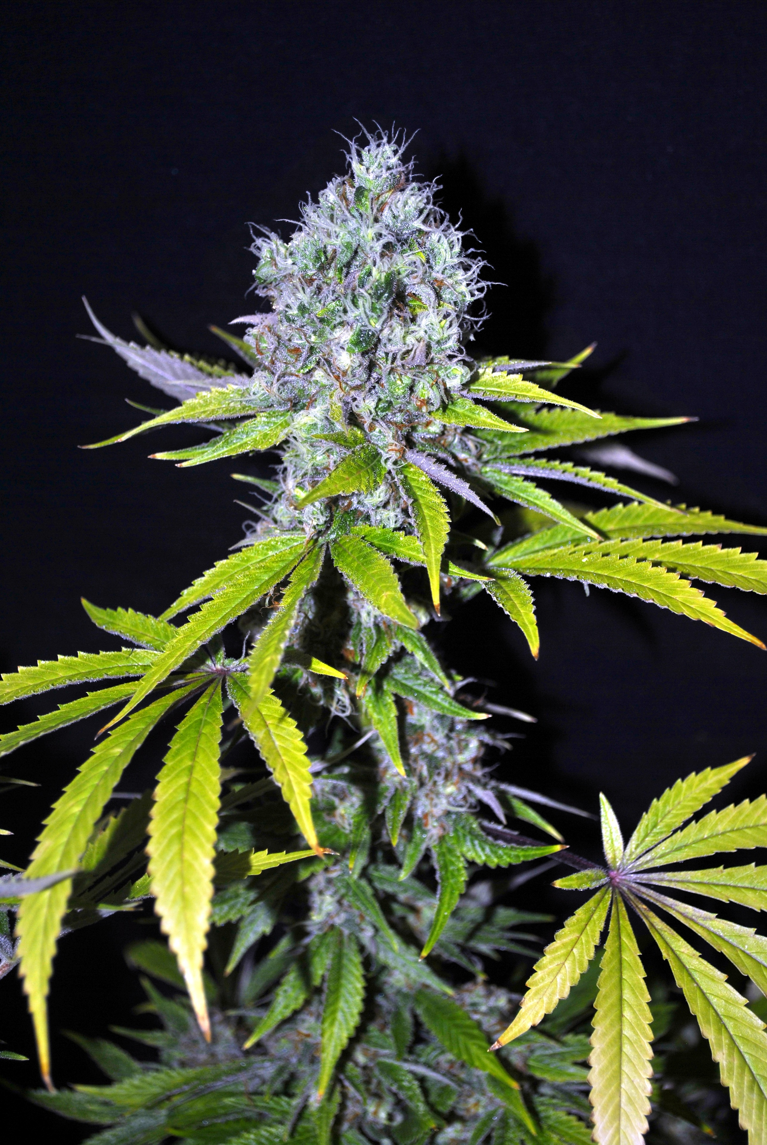 Yummy CBD Feminised Seeds - 5