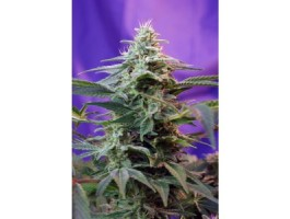 Sweet Special FAST Version Feminised Seeds