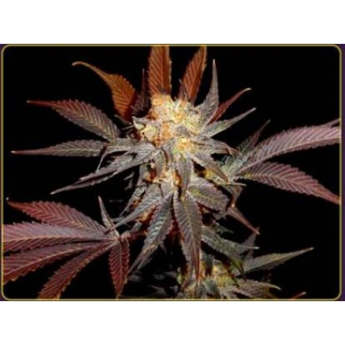 Lavender Feminised Seeds