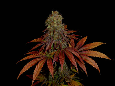 Rock Bud Feminised Seeds