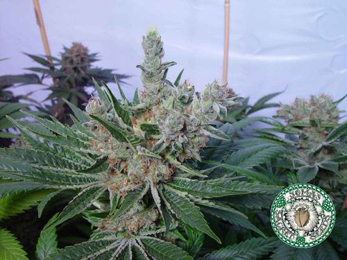 White Willow Feminised Seeds