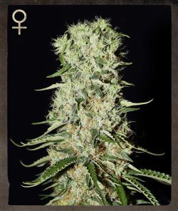 Damnesia Feminised Seeds