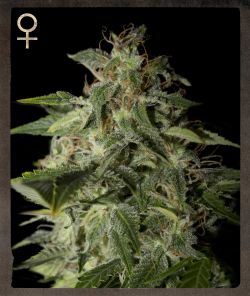 Afgooey Feminised Seeds