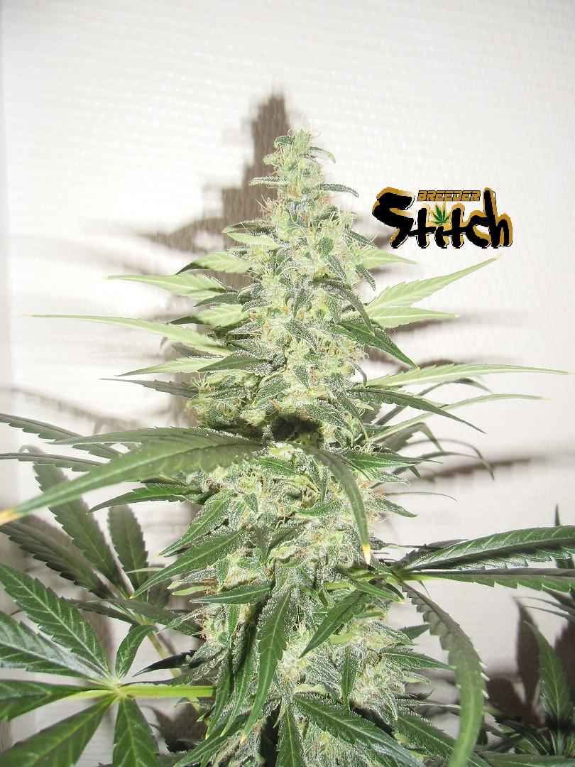 Diesel Haze Autoflowering Regular Seeds - 8