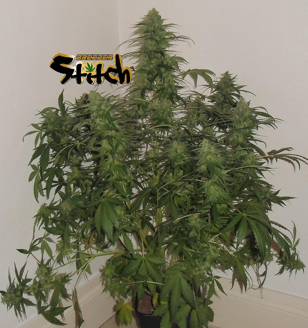 Russian Fuel Autoflowering Regular Seeds - 8
