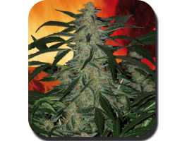 Deimos Auto Feminised Seeds