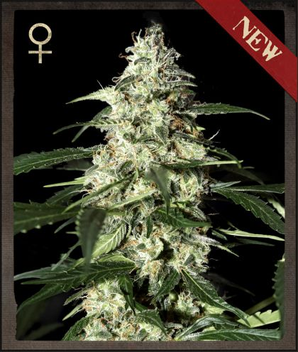Skunk Auto Feminised Seeds