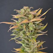 High Priority Auto Feminised Seeds
