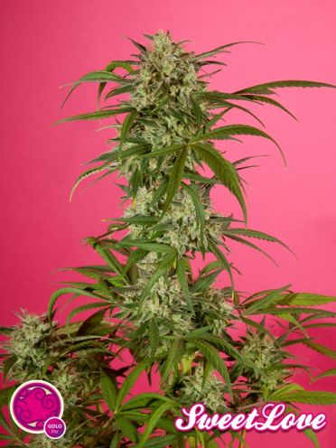 SweetLove Feminised Seeds