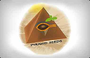 Pyramid Seeds Feminized